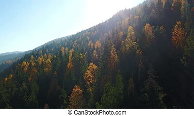 Aerial view of autumn pine forest with yellow and green...