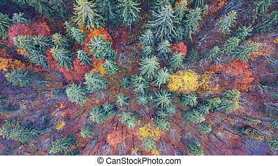 Aerial view of autumn pine forest with yellow and green trees in the mountains