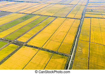 aerial view of autumn rice field