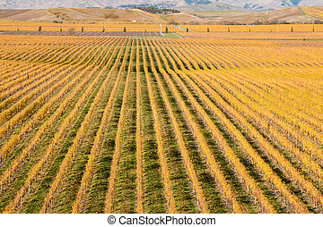aerial view of autumn vineyard