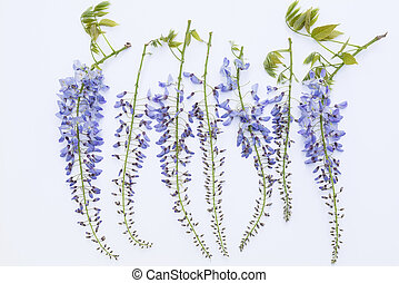 Aerial view of blooming lilac wisteria flowers on white ...