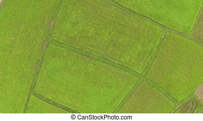 Aerial view of bright green rice plantation in Thailand