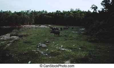 Aerial view of buffalo herd at riverside - Aerial drone view...