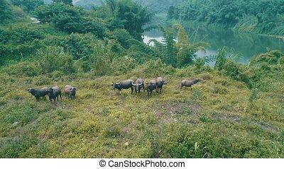 Aerial view of buffalo herd at riverside in beautiful green...