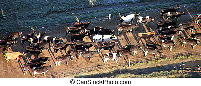 aerial view of cattle in the field