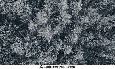 Aerial view of coniferous forest in winter. - Aerial view of...