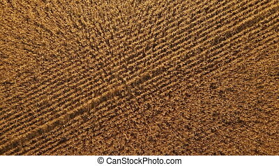 Aerial view of Cornfield. 4k resolution video. Drone aerial view of a cultivated cornfield or maize field ready to harvest - drone is moving forward