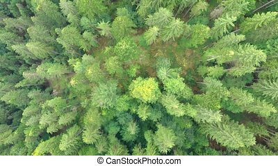 Aerial View of Dense Pine Forest in Carpathian Mountains