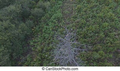 Aerial view of dried pine tree in the forest