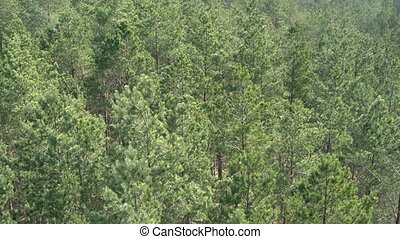 Aerial view of european pine tree forest on a sunny day....