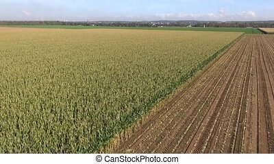 Aerial view of extensive maize crops growing on large flat...