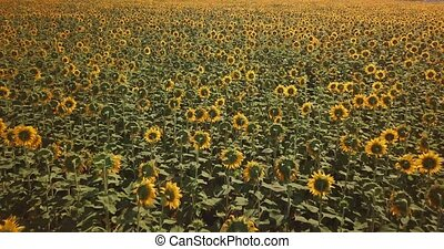 Aerial view of flowering  sunflowers field. 4k