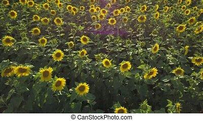 Aerial view of flowering sunflowers field