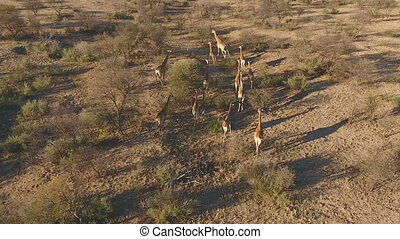 Aerial view of giraffes
