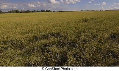 Aerial view of golden wheat field.Aerial video. - Aerial...