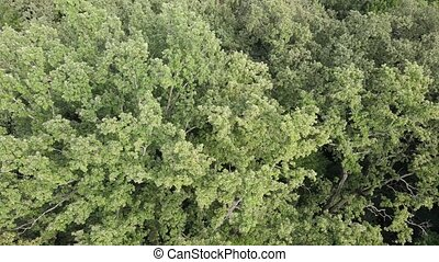 Aerial view of green forest in summer. Ukraine - Aerial view...