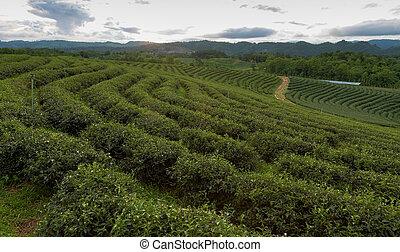 Aerial view of green tea plantation