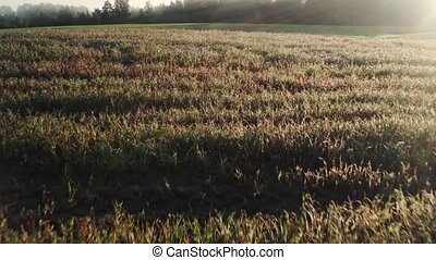Aerial view of green wheat field. Drone flying over Beautiful Natural field at sunset or sunrise. Camera moves from down to up. open shot 4K