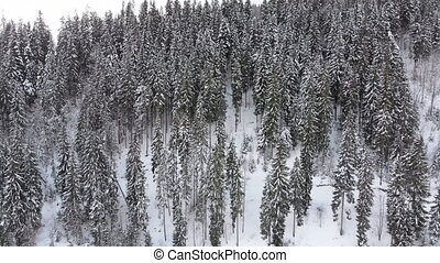 Aerial view of High Carpathian Spruce and Pine Trees in Forest on a Snowy Hill.