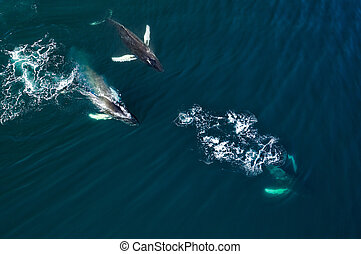 Aerial view of huge humpback whale, Iceland