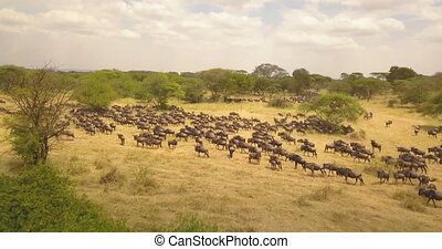 Aerial View of Large Wildebeest aka Gnu Herd on Migration in Pasture of Savannah