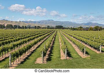 New Zealand vineyards in summertime
