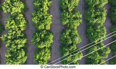 Aerial view of orange fields and electric lines - Orange...
