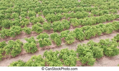 Aerial view of orange tree field