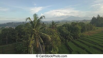 Aerial view of palm in rice fields