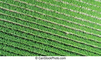aerial view of plantation field, plows lines and patterns -...