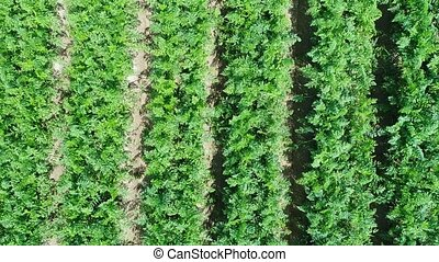 aerial view of plantation field, close up of rows of carrot...