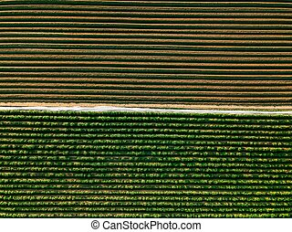 Aerial view of potato rows field in agricultural landscape