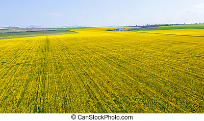 Aerial view of rapeseed field.