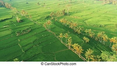 Aerial view of rice fields in Bali - Aerial drone view of...