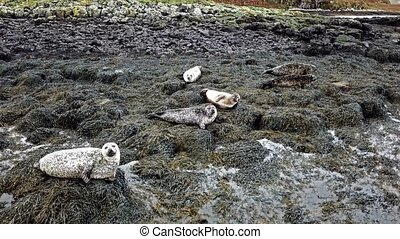 Aerial view of seal colony in Scotland - UK