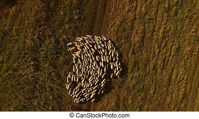 Aerial view of sheep flock.