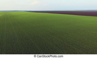 Aerial view of spring wheat fields, green landscape