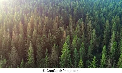 Aerial View of Spruce Forest in the Ukrainian Carpathian Mountains