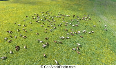 Flying over green field with grazing cows. - Aerial view of ...