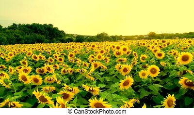 Aerial view of sunflower field - Aerial view of beautiful...