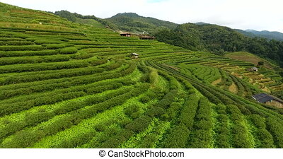 Aerial view of tea plantation terrace on mountain. Beautiful...