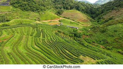 Aerial view of tea plantation terrace on mountain.