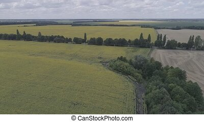 Aerial view of the field with sunflowers