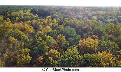 Aerial view of the forest with trees covered with yellow foliage