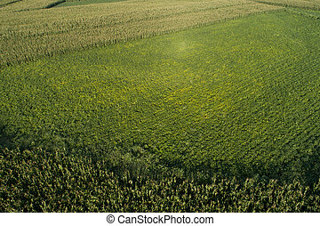 Aerial view of the maize and soybean field from drone