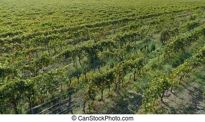 Aerial view of the vineyards fields