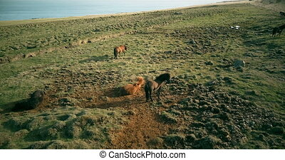 Aerial view of the wild horses grazing on the lava field. ...