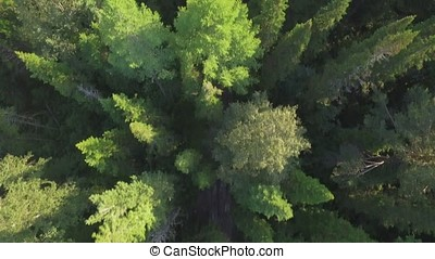Aerial view of woodlands with road in the summer during a flight. River through the green spruce forest, aerial view. The top view on the autumn river with forest, beautiful landscape. Top view of the river in the mountains surrounded by a green forest