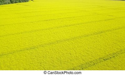 Aerial view of yellow canola field. Blossoming rapeseed ...