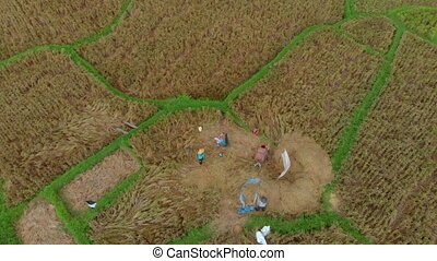Aerial view on farmers gathering rice on a big rice field.